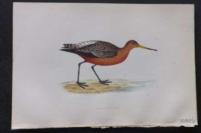 Morris 1870 Antique Bird Print. Bar-Tailed Godwit